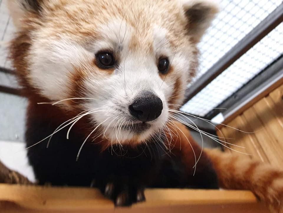DoWarszawskiego ZOO trafiła panda ruda. Tozagrożony wyginięciem gatunek